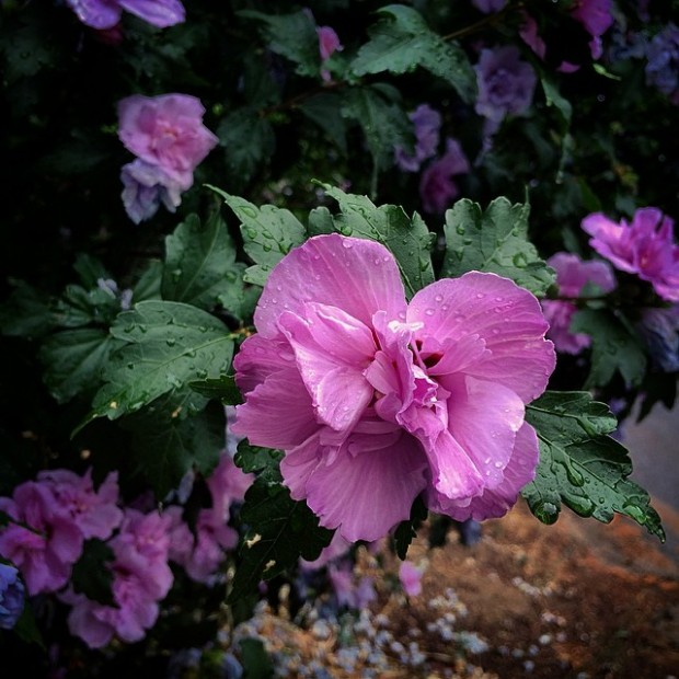 pink and purple flower tree