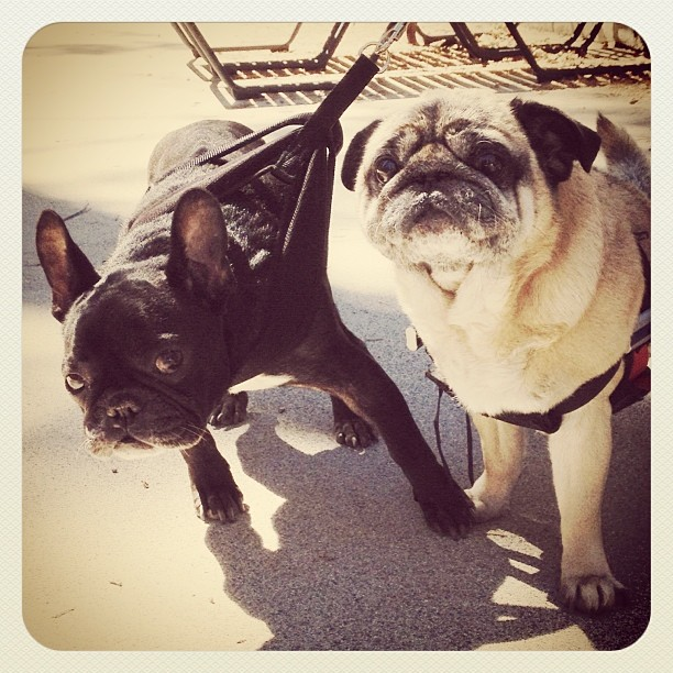 pug and frenchie