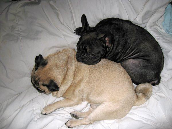 pug-french-bulldog-may-08-2