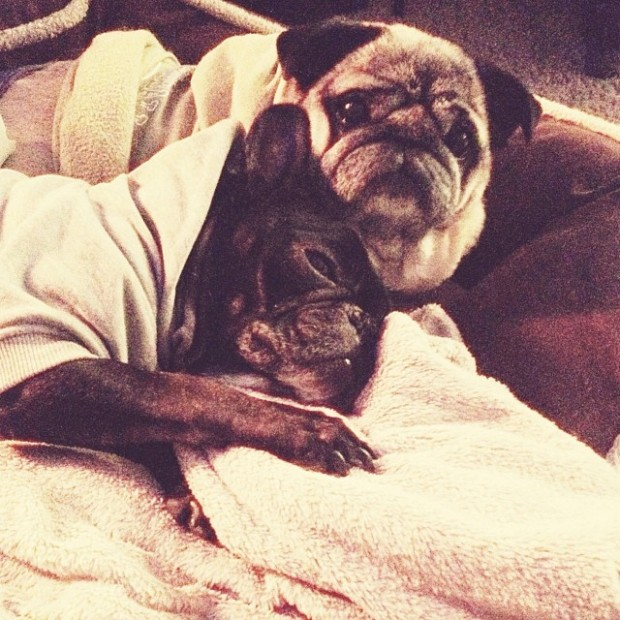 pug frenchie cuddles