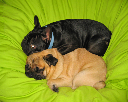 pug-frenchie-dogs-cuddling
