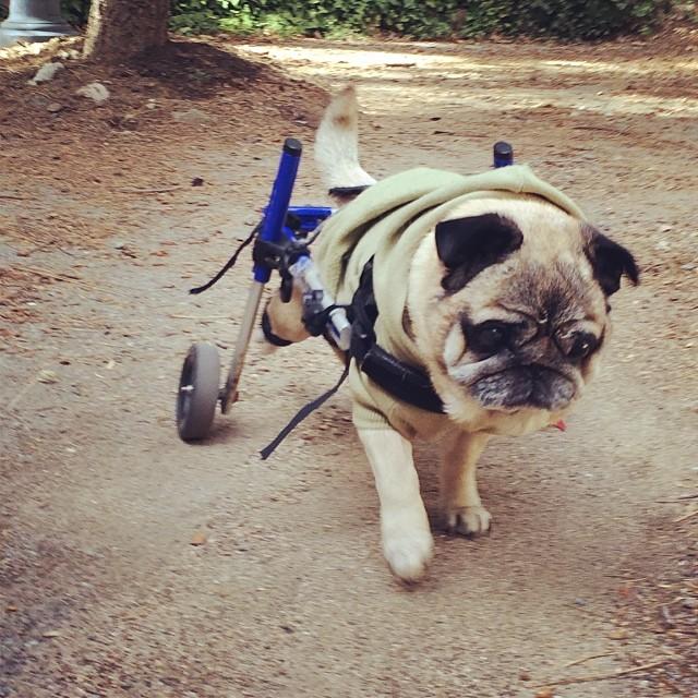 pug in wheelchair