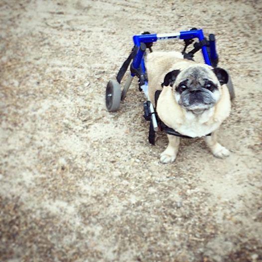 pug in wheels