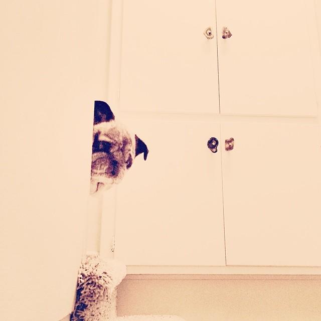 pug peeking out