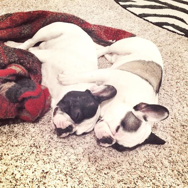 puppy snuggles-french bulldogs