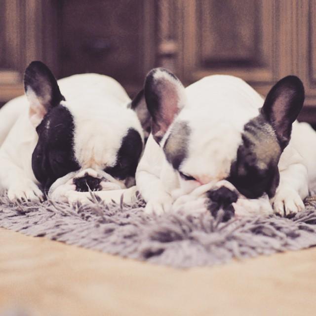 sleepy bunny french bulldog brothers