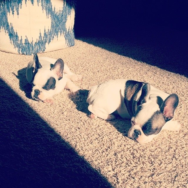 sleepy french bulldogs in the morning sun