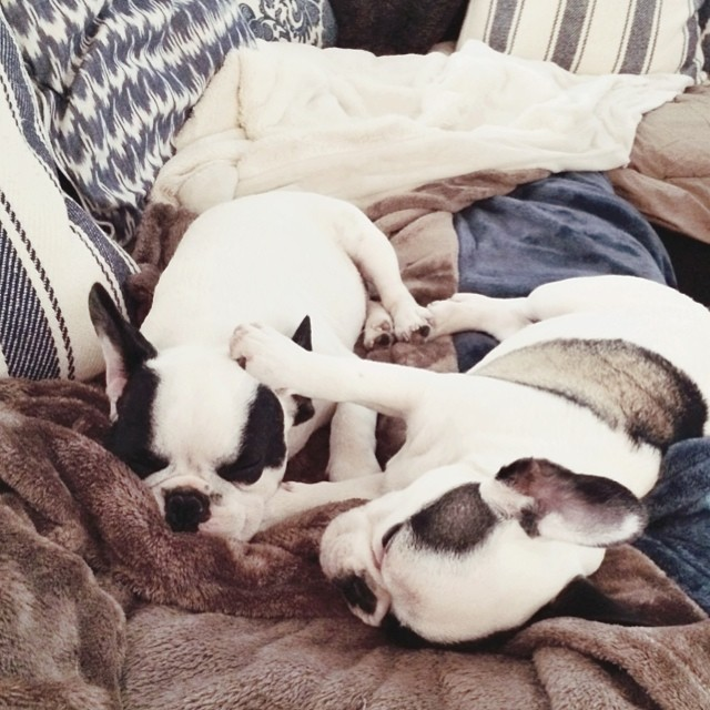 sleepy frenchie pups