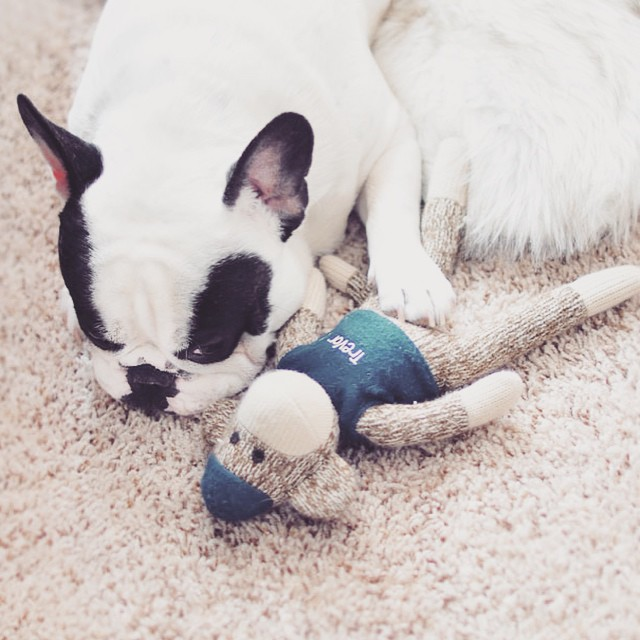sweet frenchie with sock monkey