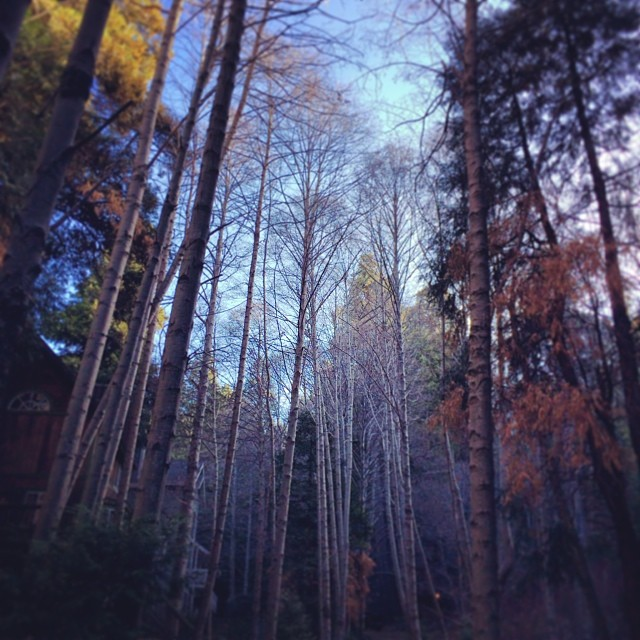 tall trees-forest-woods
