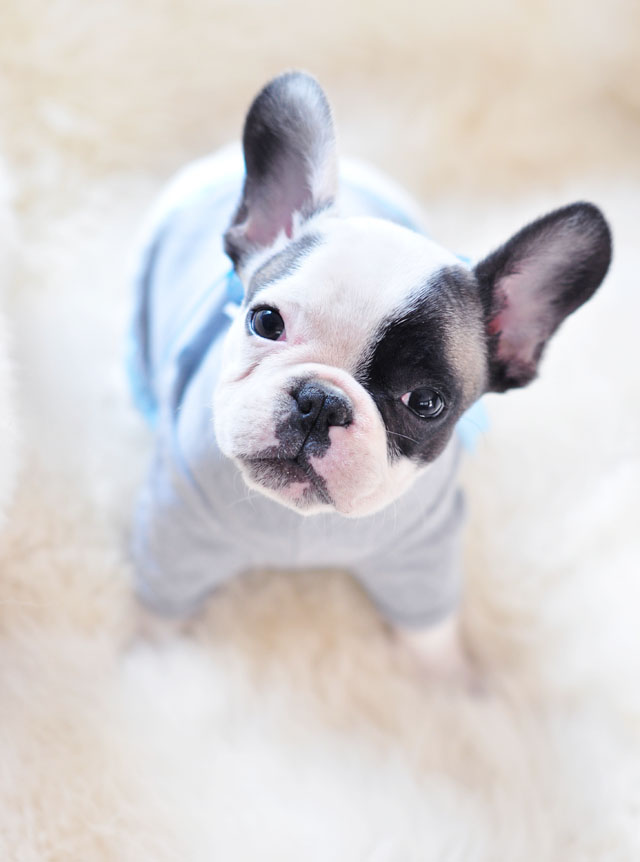 tiny french bulldog in t-shirt