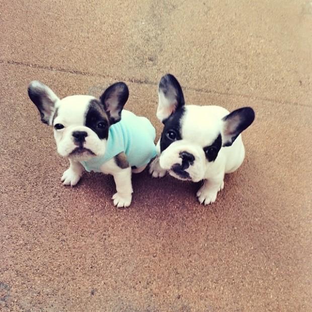 tiny french bulldogs