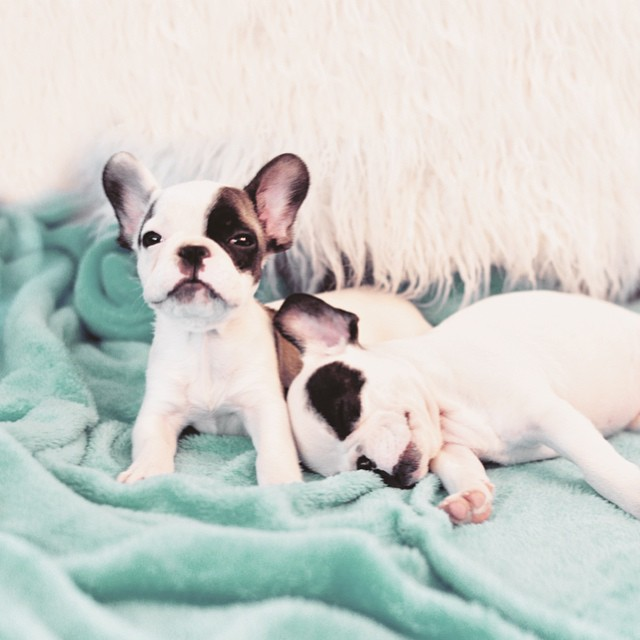 tiny frenchie baby french bulldog puppies
