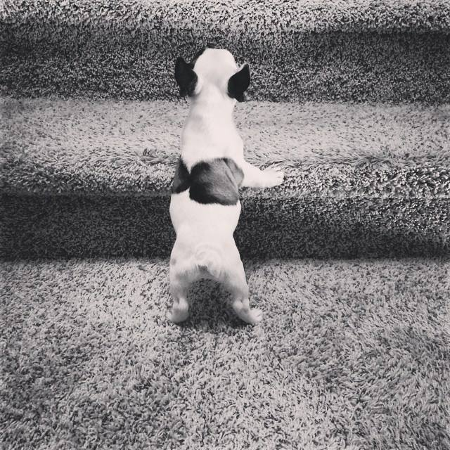 tiny frenchie on the stairs
