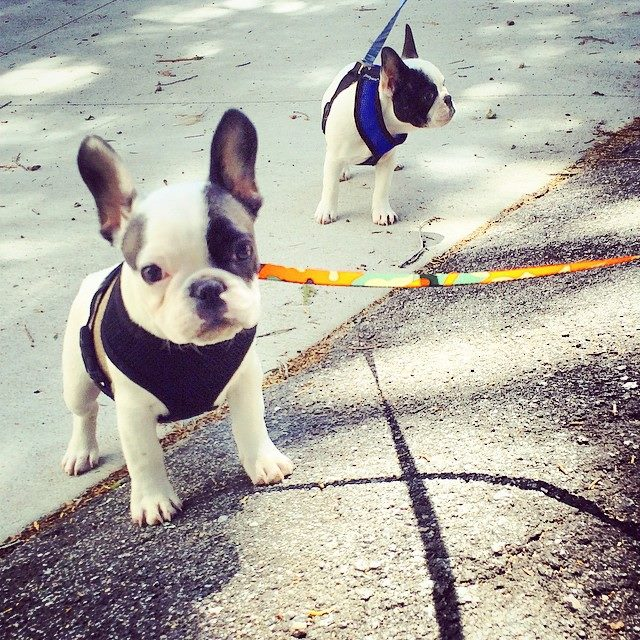 tiny frenchie puppies on a walk