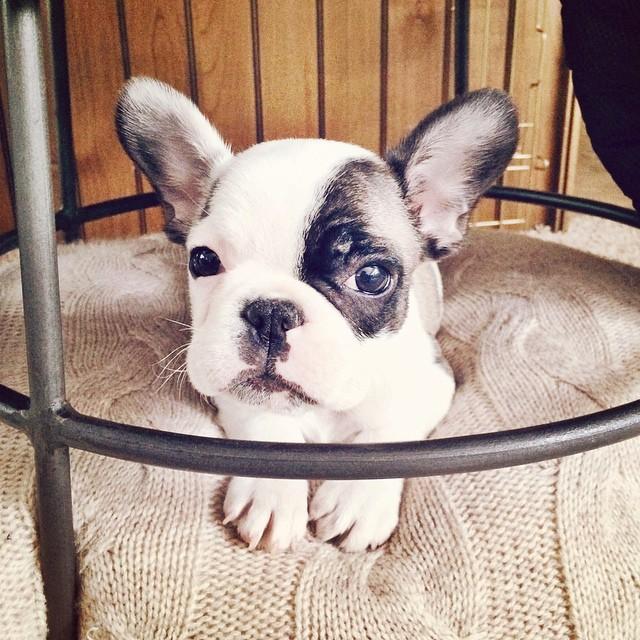 tiny frenchie puppy -randy
