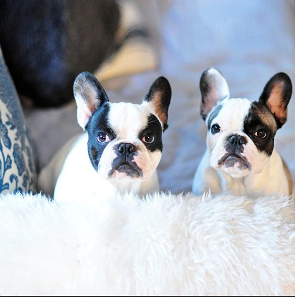 trevor and randy-french bulldogs
