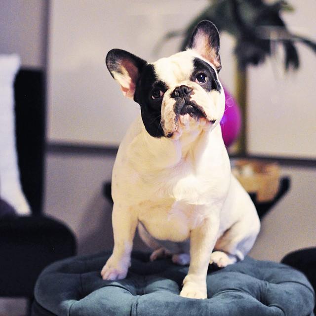 trevor french bulldog