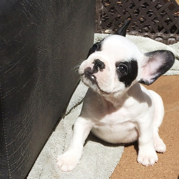trevor in the sun+frenchie puppy