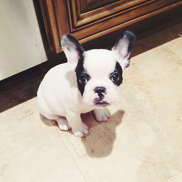 trevor the frenchie pup