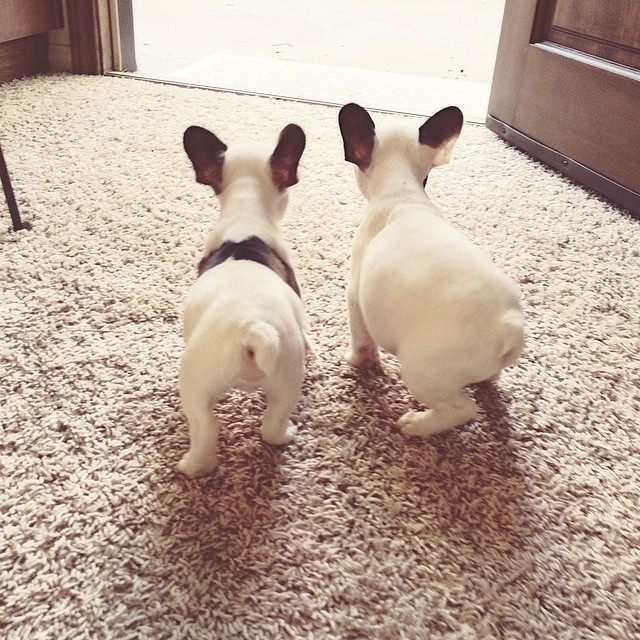 two tiny frenchies
