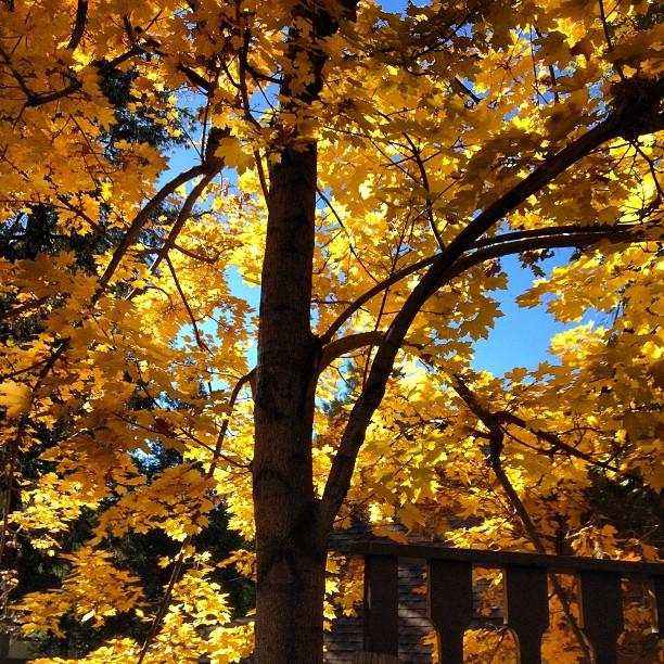 yellow tree-fall leaves